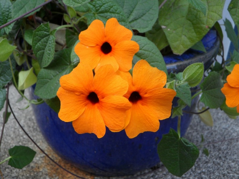 Thunbergia w doniczce
