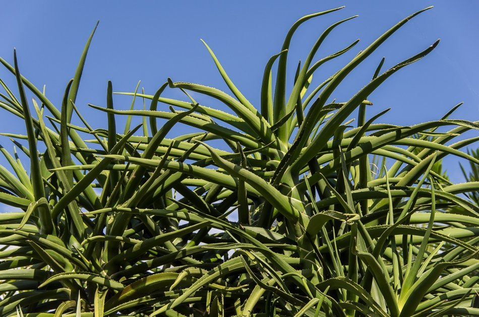Aloes drzewiasty
