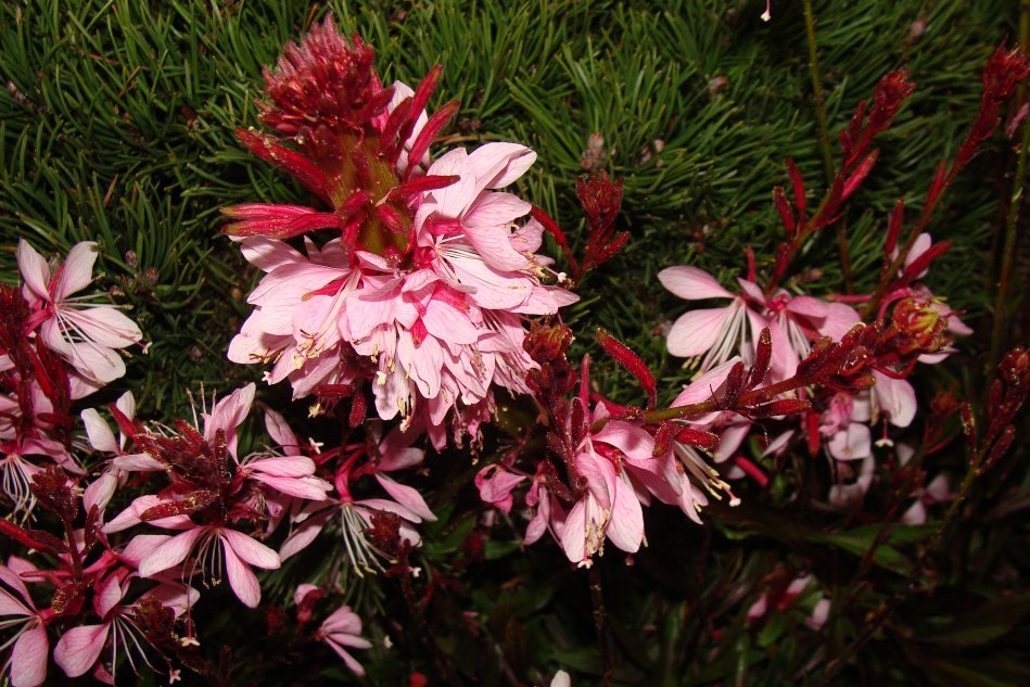 Gaura odmiany Gambit Rose