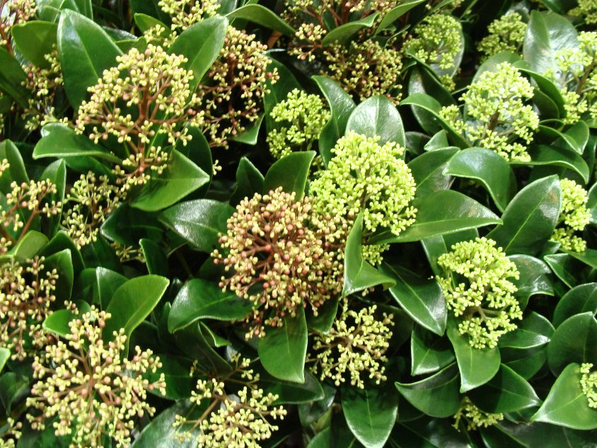 Skimmia japońska Fragrant Cloud