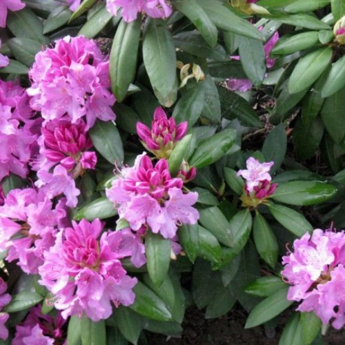 rododendron - kwiaty