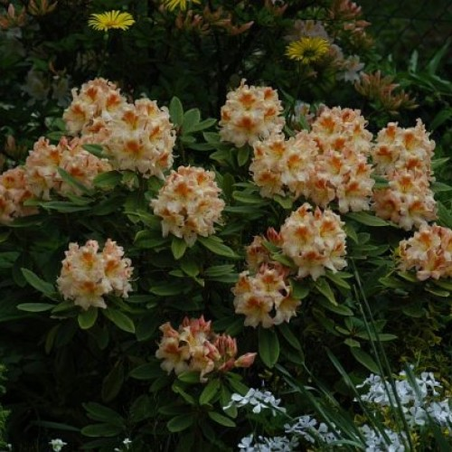 rododendron - krzew