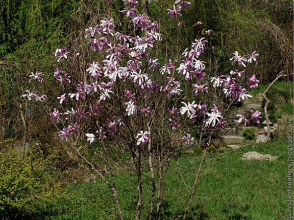Magnolia gwiaździsta 'Royal Star'