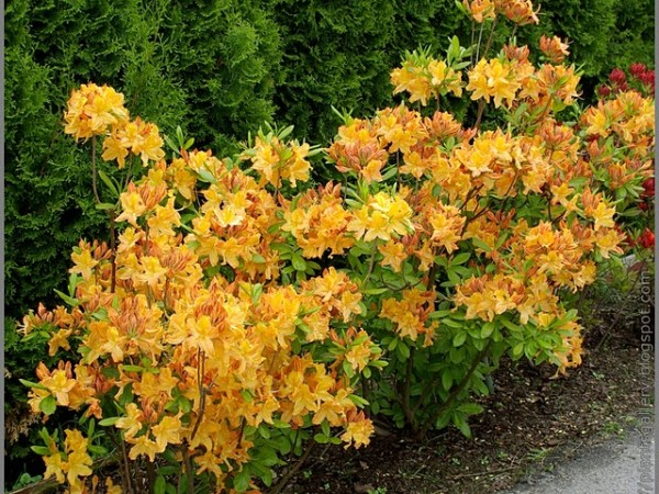 Azalia 'Golden Lights'